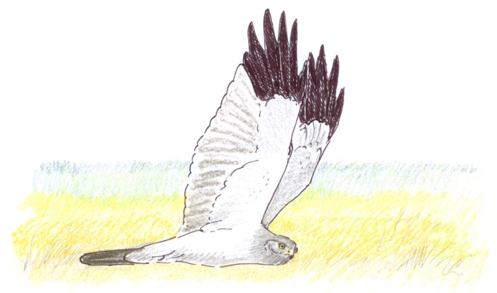 We really must rethink the bonkers notion of Hen Harrier 'brood management'