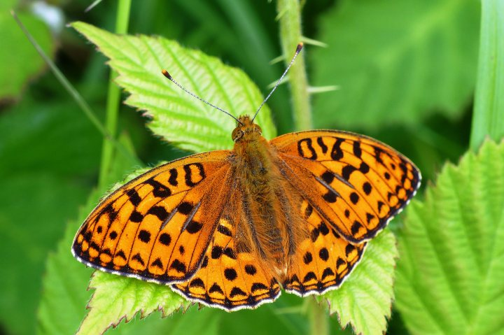 UK's most endangered butterfly thrown a lifeline by the National Trust