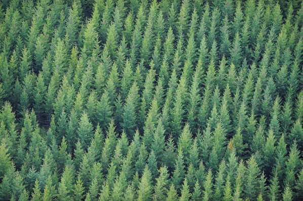 Spruce plantation, Picea abies, Uppland, Sweden
