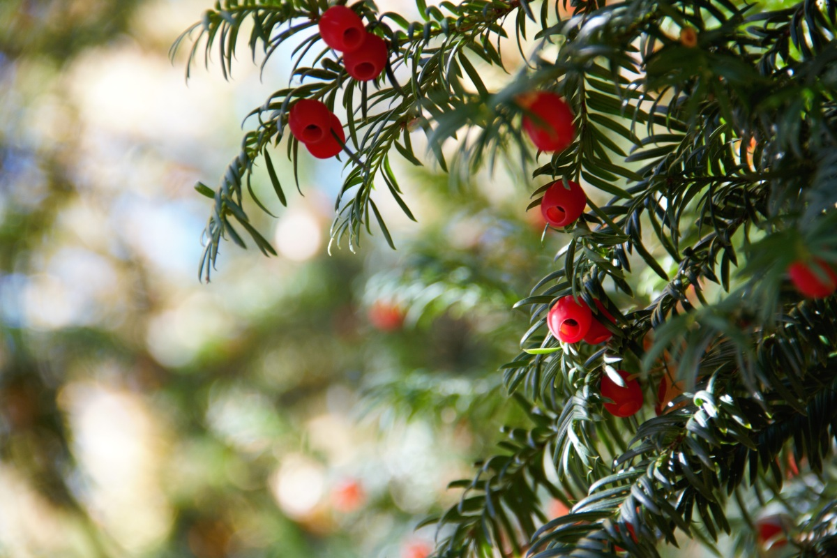Top 10 Facts: Yew