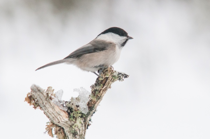 Top 10 Facts: Willow Tit