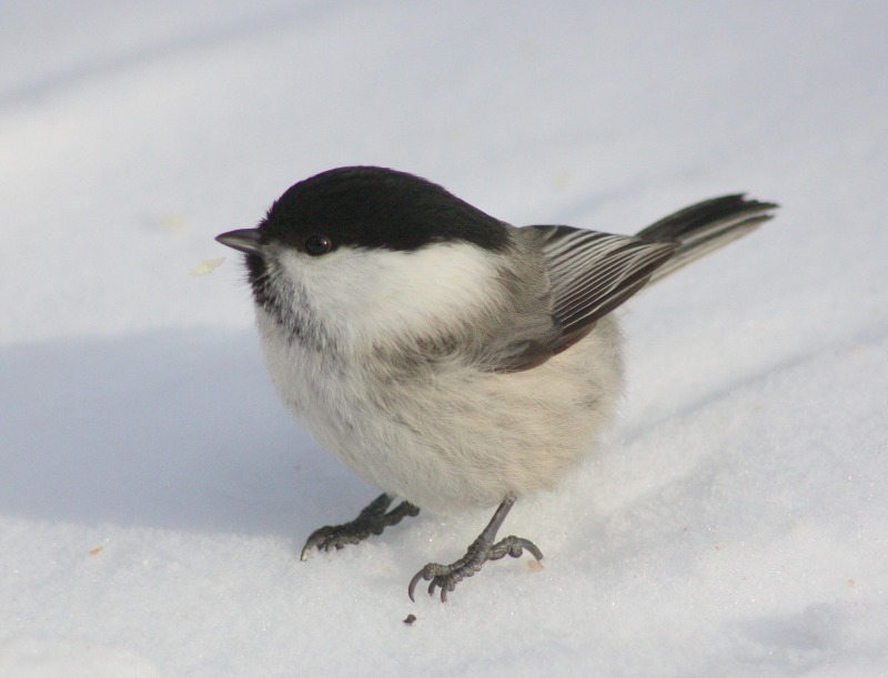 willow-tit-100293