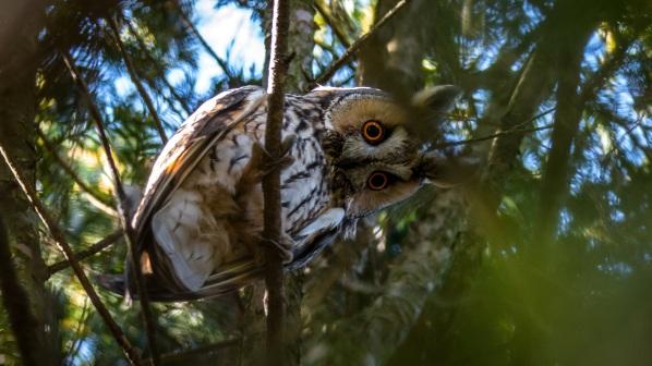 long-eared-owl-2118554