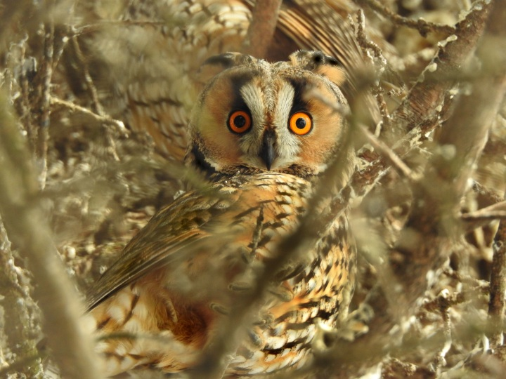 Top 10 Facts: Long-eared Owl