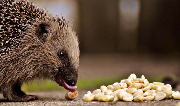 Happy Hedgehog AwarenessWeek