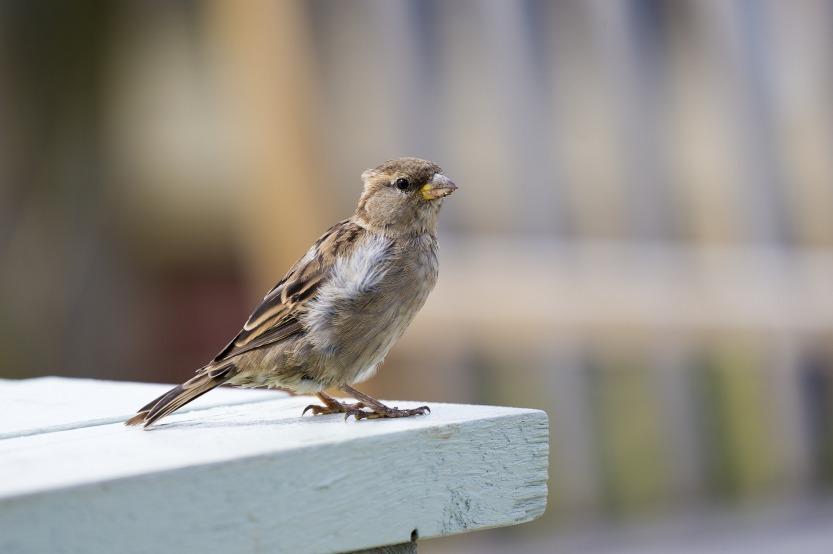 house-sparrow-2732015_1920