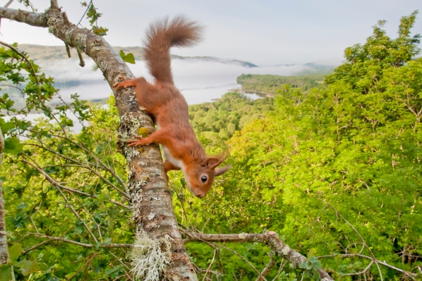Red Squirrel (Sciurus vulgaris) in oak west coast woodland