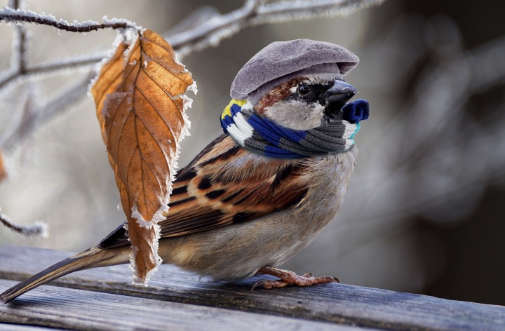 Top 10 Facts: House Sparrow