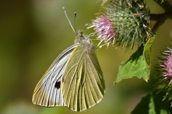 Large White, GPNR, James Common