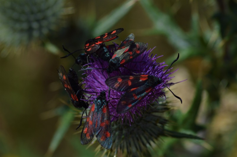 Six-spot Burnet, Weetslade, James Common (3)