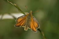 Small Skipper, Iris Brickfield, James Common (3)