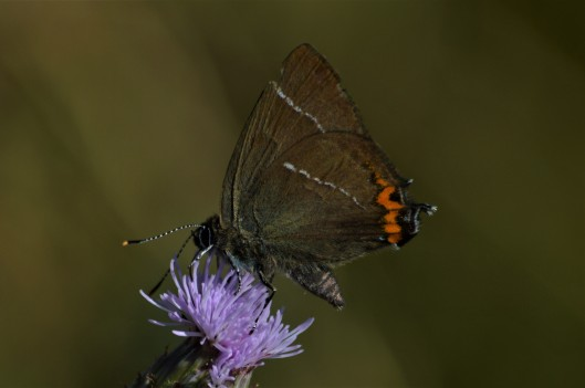 White-letter Hairstreak, Weetslade, James Common (3)