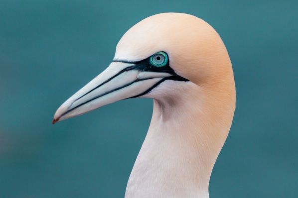 northern-gannet-3289574