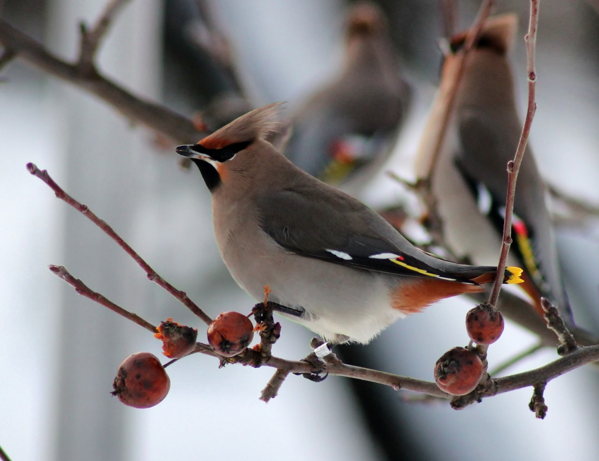 Top 10 Facts: Waxwing