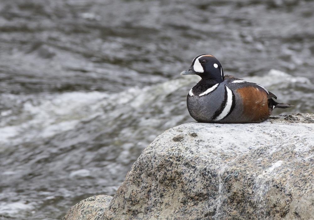 duck-1377064