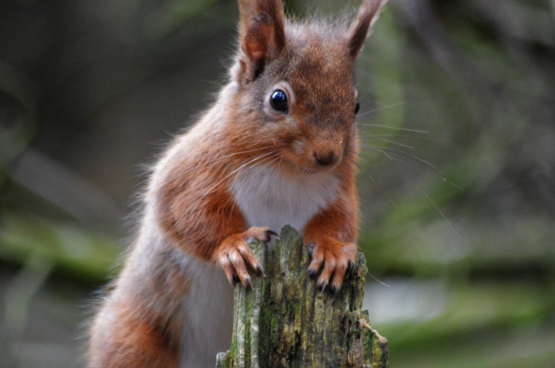 Red Squirrel, Pow Hill, James Common (2)