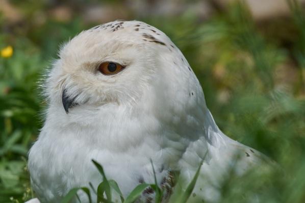 snowy-owl-3450894