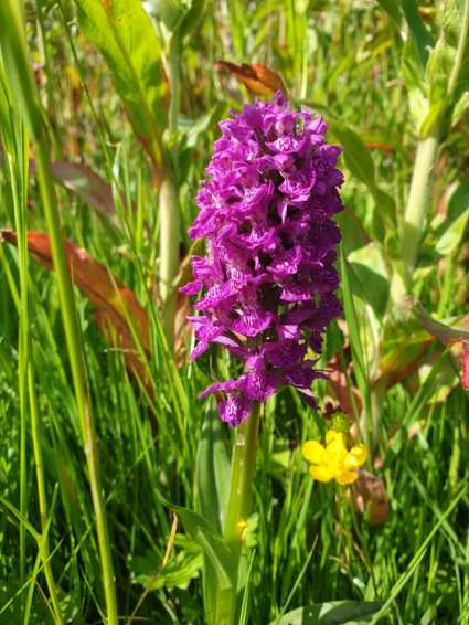 Northern Marsh Orchid (Dactylorhiza purpurella)