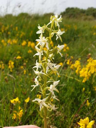 Lesser Butterfly Orchid (Platanthera bifolia)