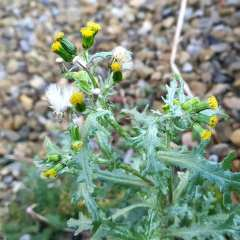 Common Groundsel, Senecio vulgaris