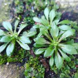 Common Whitlow Grass, Draba verna