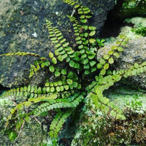 Maidenhair Spleenwort, Asplenium trichomanes