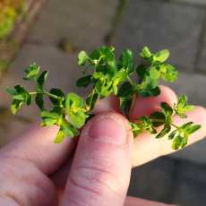 Petty Spurge, Euphorbia peplus
