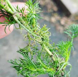 Scentless Mayweed, Tripleurospermum inodorum