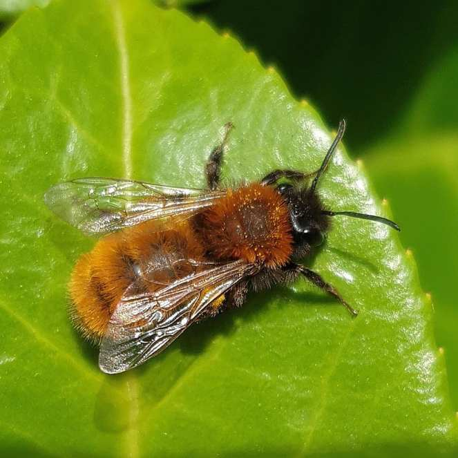 Tawny Mining Bee (female)