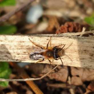 Tawny Mining Bee (male)