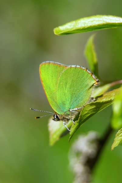 Green Hairstreak © Ross Gardner