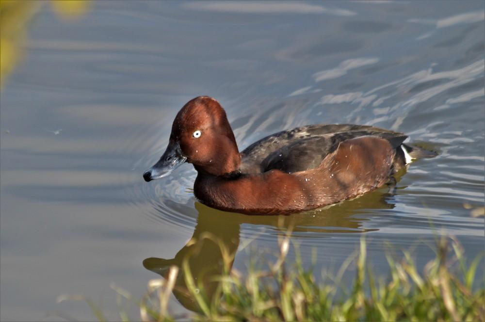 Ferruginous Duck, Silverlink 2