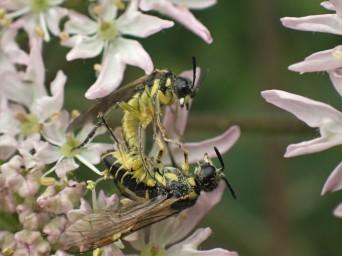Unknown Sawfly