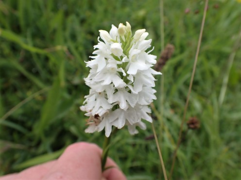 Common Spotted Orchid (var. alba)