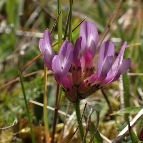 Purple Milk-vetch (Astragalus danicus)