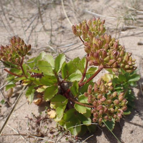 Scots Lovage (Ligusticum scoticum)